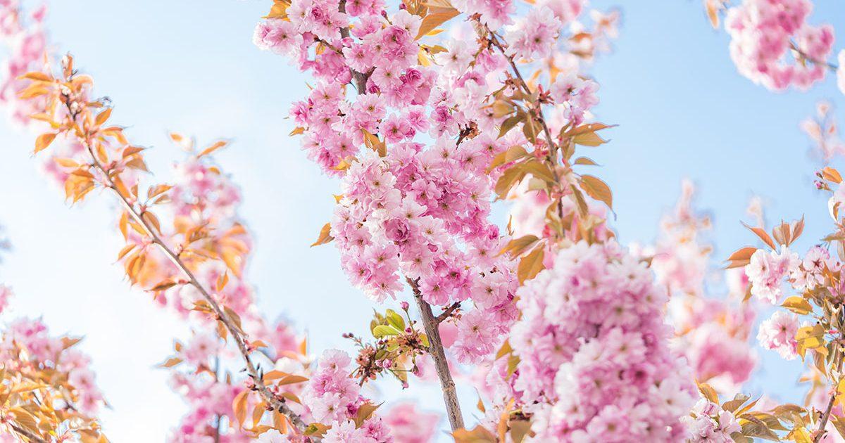 花見の時期に見て楽しむだけじゃない!建築資材としても魅力!桜編